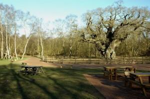Major Oak at Sherwood Forest