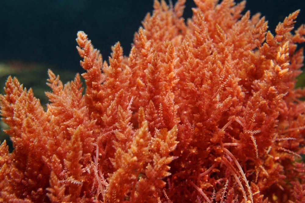 Red coral seaweed